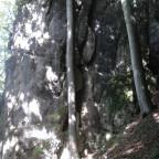 Buche schmiegt sich an den Fels